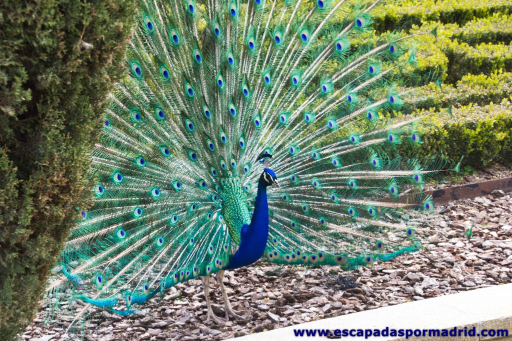 foto de Pavo Real en los Jardines de Cecilio Rodríguez