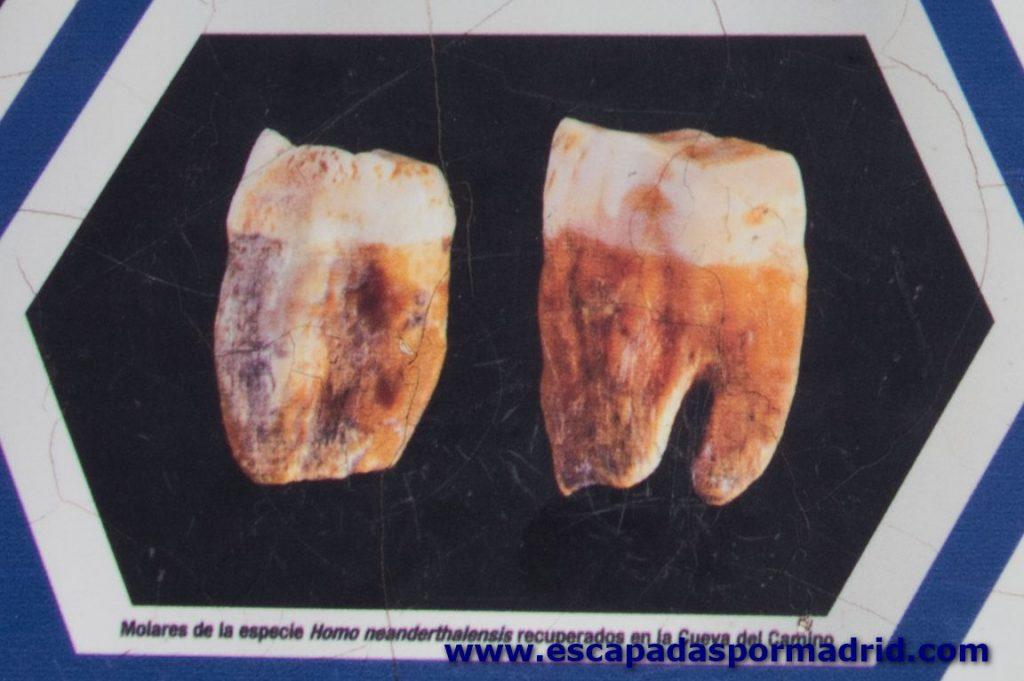 foto de molares de homo neanderthalensis